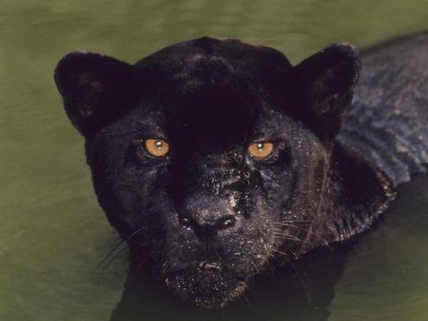 que-son-en-realidad-las-panteras-negras